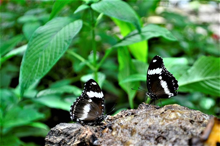 black-and-white-butterflies-2782241__480.jpg